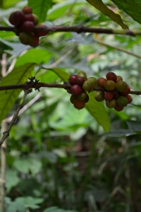 Coffee beans still growing