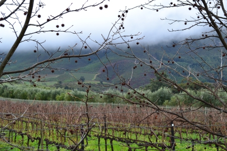 Constantia Vineyards