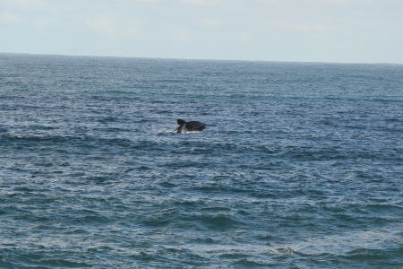 Southern Right Whales!