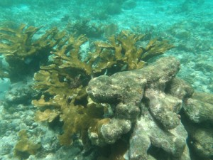 Beautiful coral in Hol Chan.
